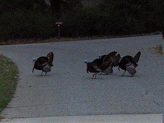 Click image for larger version  Name:HPIM0663 turkey courtship 9.jpg Views:162 Size:63.7 KB ID:36542