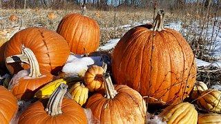 Click image for larger version  Name:AF pumpkins 8 OCT 2020.jpeg Views:13 Size:120.9 KB ID:380338