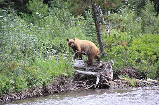 Click image for larger version  Name:Bear at Swiftcurrent.jpg Views:11 Size:540.0 KB ID:388565