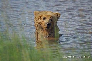 Click image for larger version  Name:Brown Bear, Hallo Bay, Katmai NP (6).jpg Views:10 Size:185.9 KB ID:388566