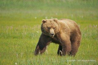 Click image for larger version  Name:Brown Bear, Hallo Bay, Katmai NP.jpg Views:9 Size:177.6 KB ID:388567