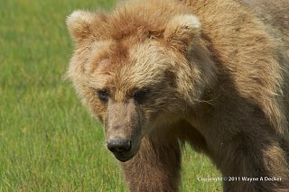 Click image for larger version  Name:Brown Bear, Hallo Bay, Katmai NP (2).jpg Views:9 Size:291.1 KB ID:388568