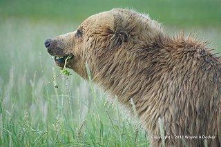 Click image for larger version  Name:Brown Bear, Hallo Bay, Katmai NP (7).jpg Views:9 Size:280.2 KB ID:388569