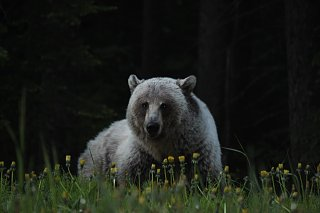 Click image for larger version  Name:Silvertip Grizzly.jpg Views:7 Size:128.4 KB ID:393709