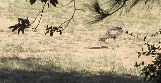 Click image for larger version  Name:HPIM0962.5 Turkey hen 2 with chick,cropped.jpg Views:136 Size:311.4 KB ID:39827