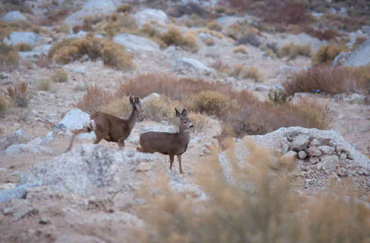 Click image for larger version  Name:Lone Pine Deer.JPG Views:65 Size:26.4 KB ID:41467