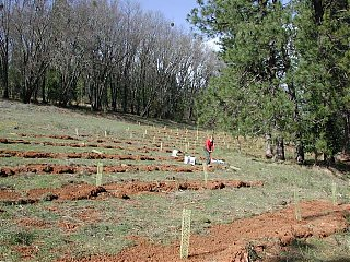 Click image for larger version  Name:pine planting.jpg Views:98 Size:107.7 KB ID:42124