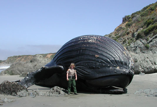 Click image for larger version  Name:Humpback-whale.jpg Views:64 Size:41.2 KB ID:43785