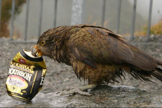 Click image for larger version  Name:Bird with can.jpg Views:43 Size:41.3 KB ID:44750