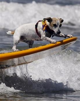 Click image for larger version  Name:Dog surfer.jpg Views:56 Size:75.6 KB ID:46179