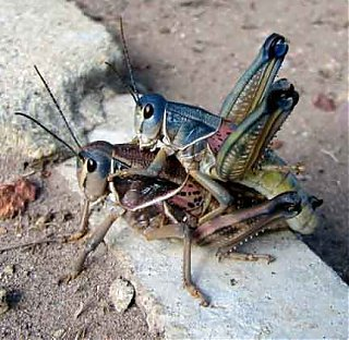 Click image for larger version  Name:lubbers_mating_skippy.jpg Views:61 Size:19.9 KB ID:47139