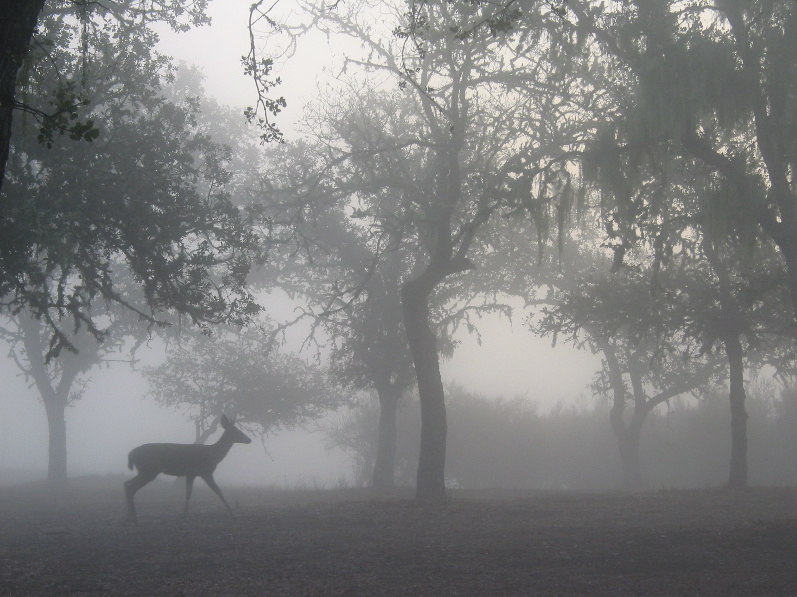 Click image for larger version  Name:Deer in the mist.JPG Views:64 Size:519.3 KB ID:48142