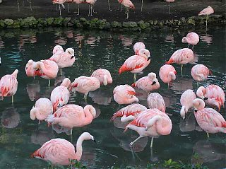 Click image for larger version  Name:flamingos.jpg Views:271 Size:38.6 KB ID:5066