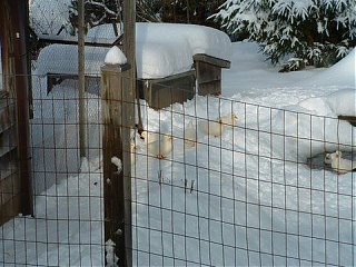 Click image for larger version  Name:Winter Ducks and Barn.jpg Views:75 Size:48.3 KB ID:51144