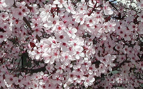 Click image for larger version  Name:plum flowers.jpg Views:163 Size:85.0 KB ID:5116