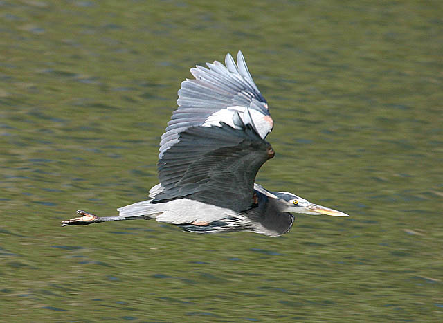 Click image for larger version  Name:Blue Heron Web.jpg Views:90 Size:86.2 KB ID:52052