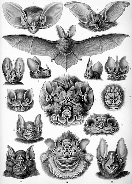 Click image for larger version  Name:431px-Haeckel_Chiroptera.jpg Views:81 Size:75.8 KB ID:52053