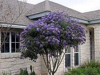Click image for larger version  Name:purple-laurel.jpg Views:192 Size:25.7 KB ID:5287