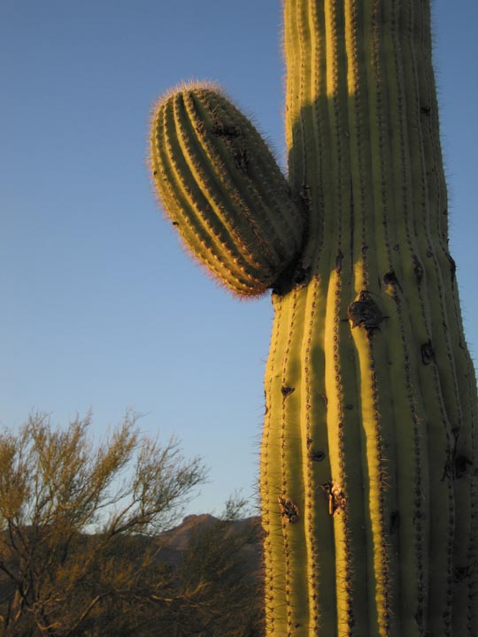 Click image for larger version  Name:GRay Cactus_6 Mar05_Sm.jpg Views:61 Size:81.6 KB ID:54032