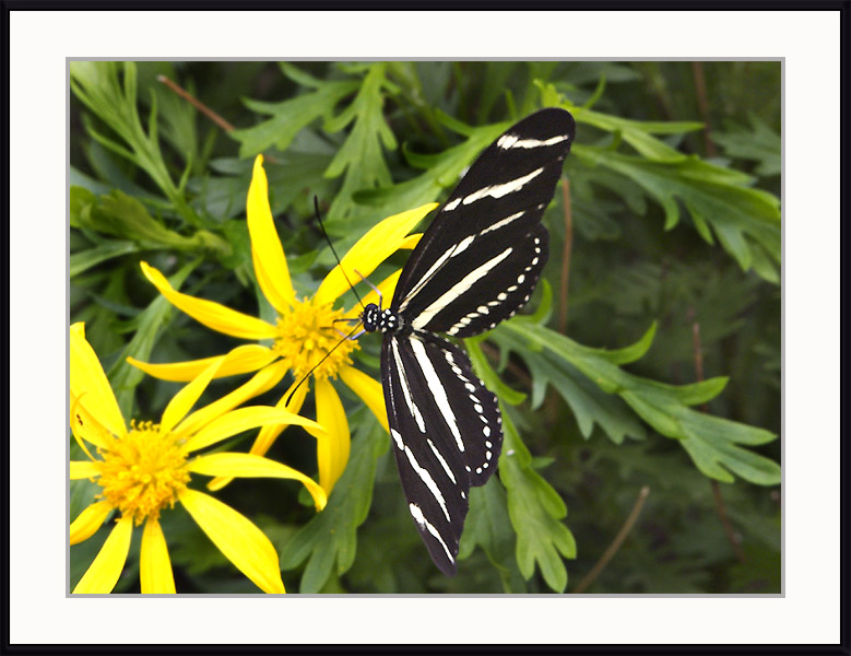 Click image for larger version  Name:17029980.butterfly6.jpg Views:59 Size:123.9 KB ID:56721