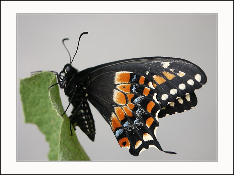 Click image for larger version  Name:19965237.blackswallowtailcopy.jpg Views:61 Size:127.5 KB ID:56722