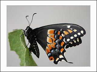 Click image for larger version  Name:19965237.blackswallowtailcopy.jpg Views:72 Size:127.5 KB ID:56722