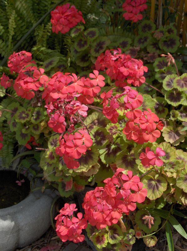 "Click image for larger version  Name:""George Marston"" geranium'08.jpg Views:58 Size:99.9 KB ID:57919"