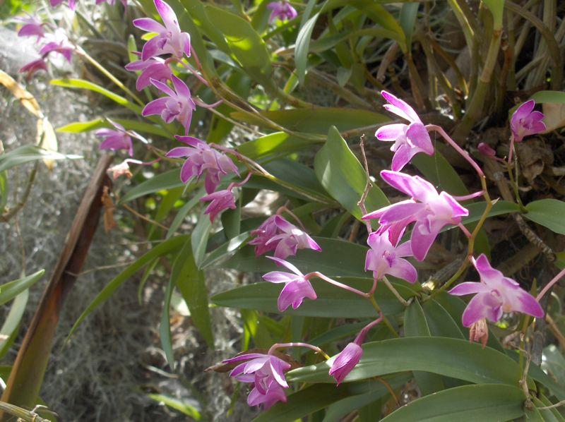 Click image for larger version  Name:pink dendobriums'08.jpg Views:62 Size:89.2 KB ID:57920