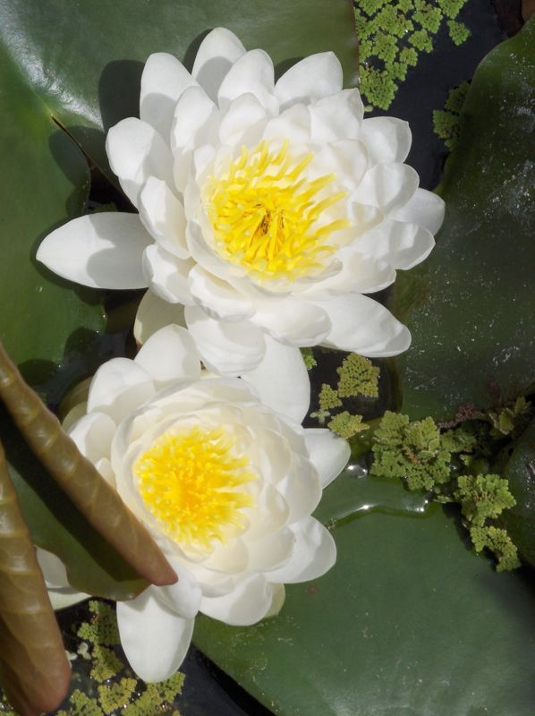 Click image for larger version  Name:white water lilies '08.jpg Views:47 Size:66.5 KB ID:57922