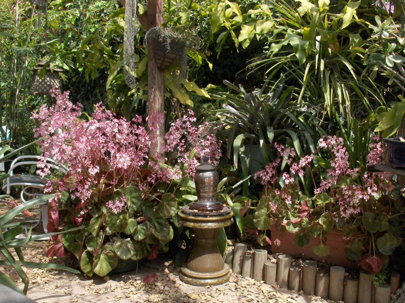 Click image for larger version  Name:beefsteak begonia'08.jpg Views:56 Size:155.5 KB ID:57923