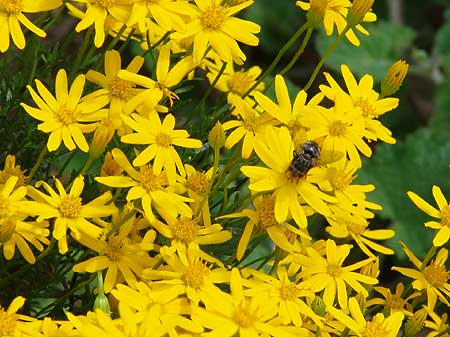 Click image for larger version  Name:Bee-on-damionita.jpg Views:139 Size:36.8 KB ID:5875
