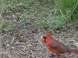 Click image for larger version  Name:White Crested Sparrow and Card..JPG Views:205 Size:92.6 KB ID:6051