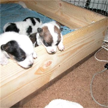 Click image for larger version  Name:puppys at 3 weeks 001 360x360.jpg Views:58 Size:43.9 KB ID:60554