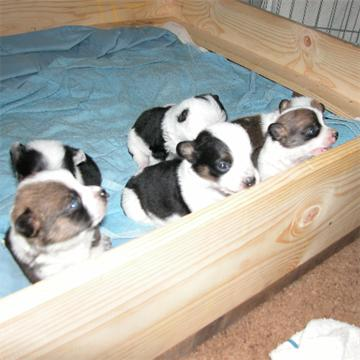 Click image for larger version  Name:puppys at 3 weeks 002 360x360.jpg Views:61 Size:24.5 KB ID:60555