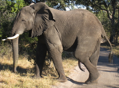 Click image for larger version  Name:Male Elephant.jpg Views:58 Size:96.3 KB ID:62288