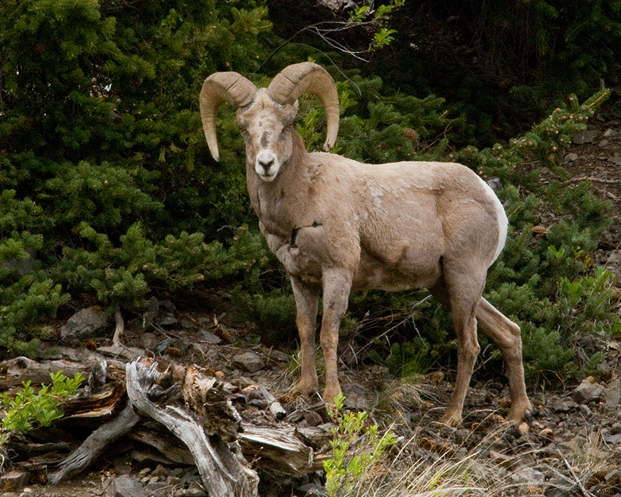 Click image for larger version  Name:Big horn 1.jpg Views:55 Size:924.1 KB ID:62364