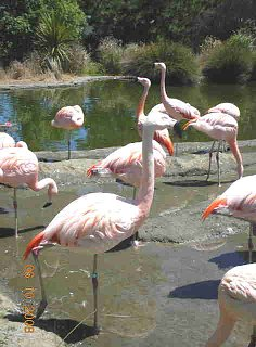 Click image for larger version  Name:Flamingos SF zoo.jpg Views:162 Size:22.9 KB ID:62574