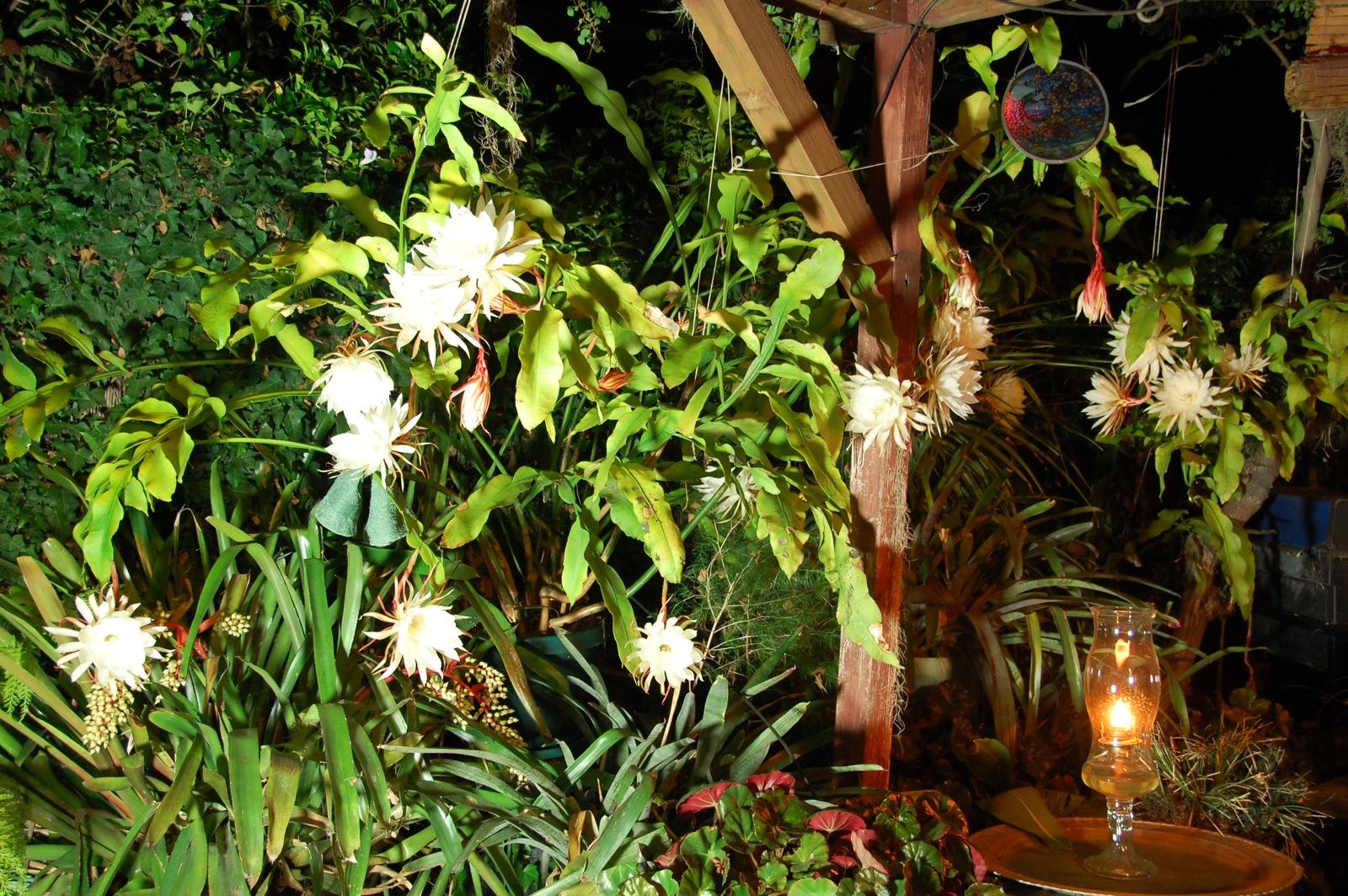 Click image for larger version  Name:1600 6:20:08 cereus bloom.jpg Views:56 Size:724.5 KB ID:62732