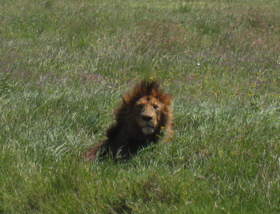 Click image for larger version  Name:Lion.jpg Views:75 Size:99.6 KB ID:63586