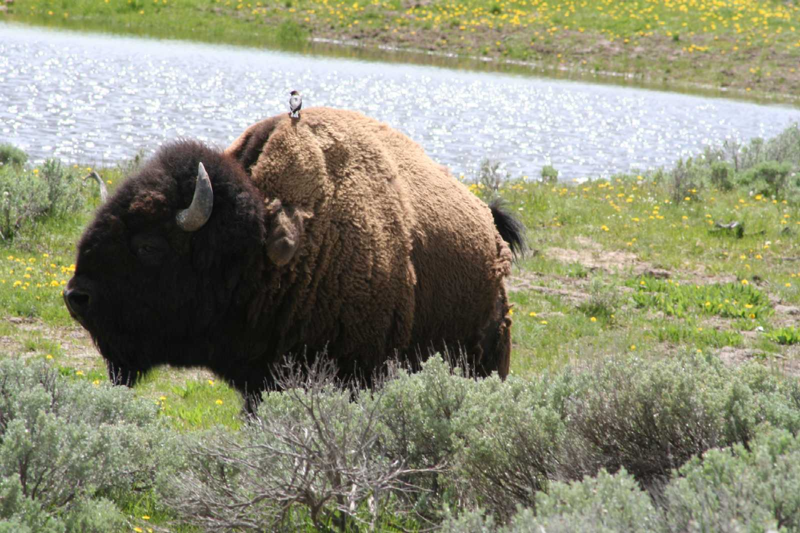 Click image for larger version  Name:Bison Bull Yellowstone National Park.jpg Views:116 Size:180.7 KB ID:71077
