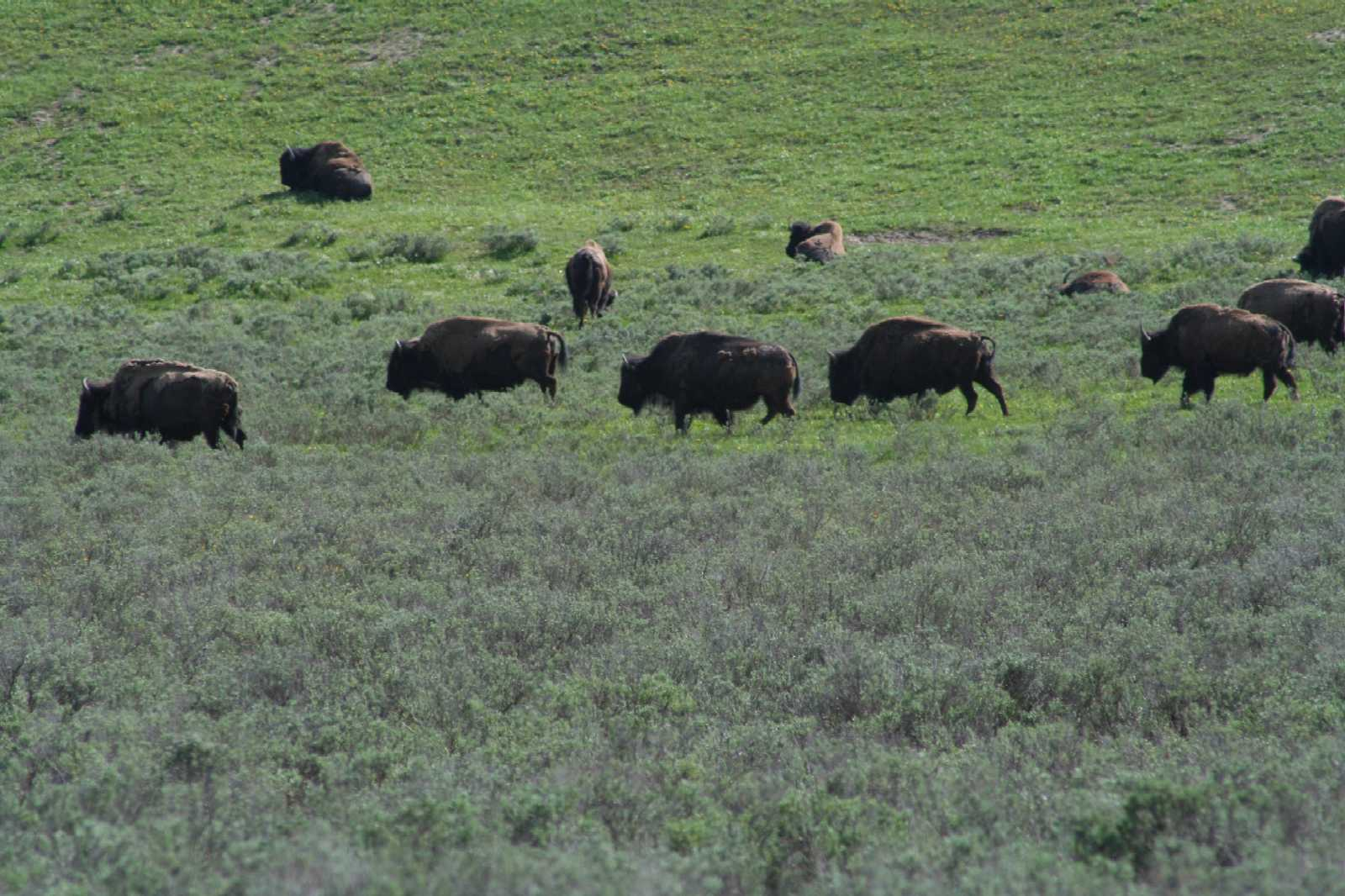 Click image for larger version  Name:Bison Herd Yellowstone.jpg Views:133 Size:186.5 KB ID:71078