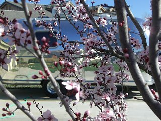 Click image for larger version  Name:72 GT with spring blooms.JPG Views:91 Size:472.5 KB ID:72249