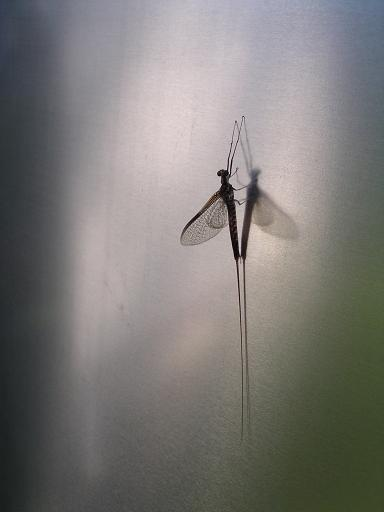 Click image for larger version  Name:May fly.jpg Views:77 Size:18.8 KB ID:72462