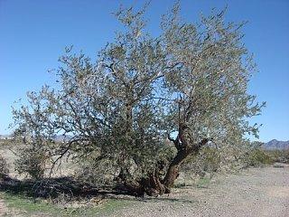 Click image for larger version  Name:Q TREE 2 Irinwood.jpg Views:101 Size:64.8 KB ID:73968