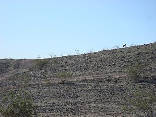 Click image for larger version  Name:COYOTES Q 1.jpg Views:94 Size:42.6 KB ID:74697