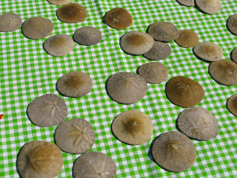 Click image for larger version  Name:sand dollars from the beach [800x600].jpg Views:69 Size:152.3 KB ID:76618