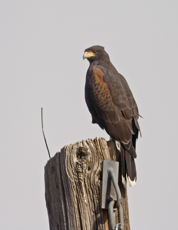 Click image for larger version  Name:Harris's-Hawk-Mar.1109-Coch.jpg Views:77 Size:100.3 KB ID:76782