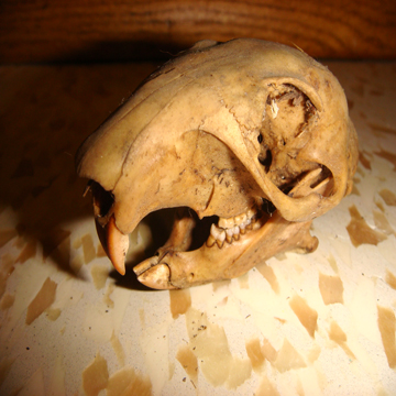 Click image for larger version  Name:Skull Close.jpg Views:70 Size:162.2 KB ID:76966