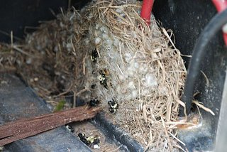 Click image for larger version  Name:bumble bee nest 2.jpg Views:104 Size:120.0 KB ID:80794