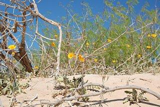 Click image for larger version  Name:DSC_0159 Desert Sun Flower.jpg Views:112 Size:632.3 KB ID:81112